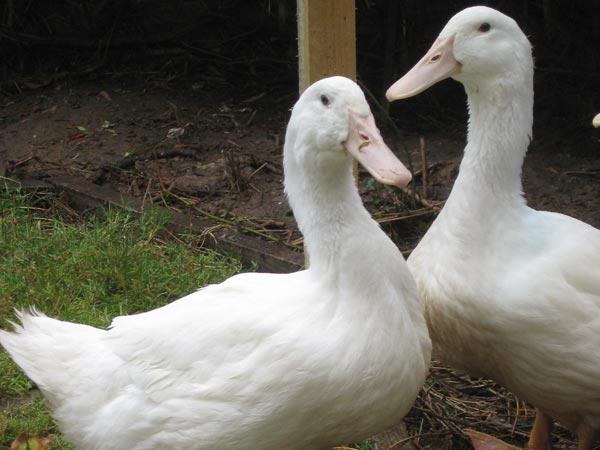 Two free range Aylesbury ducks at South Yeo Farm West