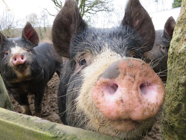 Berkshire pigs close to wooden fence