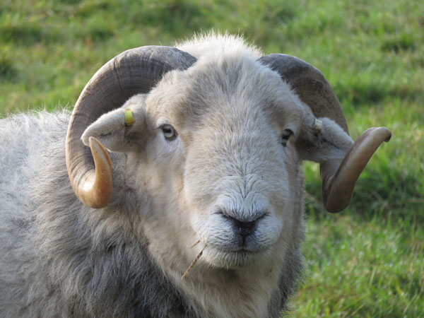 Headshot of a Herdwick ram