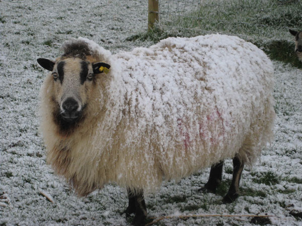 Torddu Badgeface ewe with frost on fleece