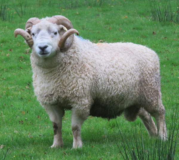 Whiteface Dartmoor ram at South Yeo Farm West