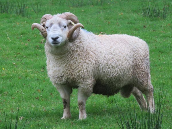 Whiteface Dartmoor ram called Dave
