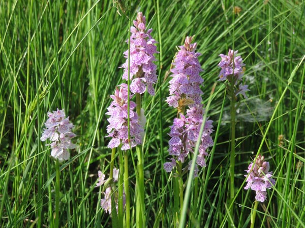 Heath Spotted Orchids at South Yeo Farm West
