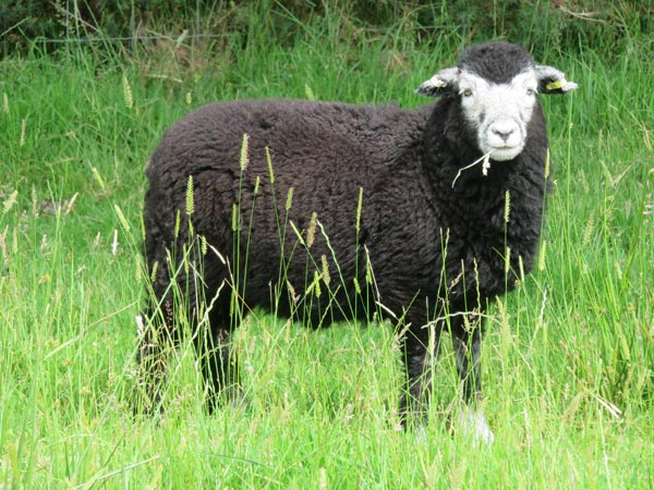 Herdwick lamb eating a grass seed head at South Yeo Farm West