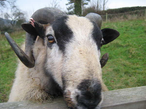 Torddu Badger Face ram
