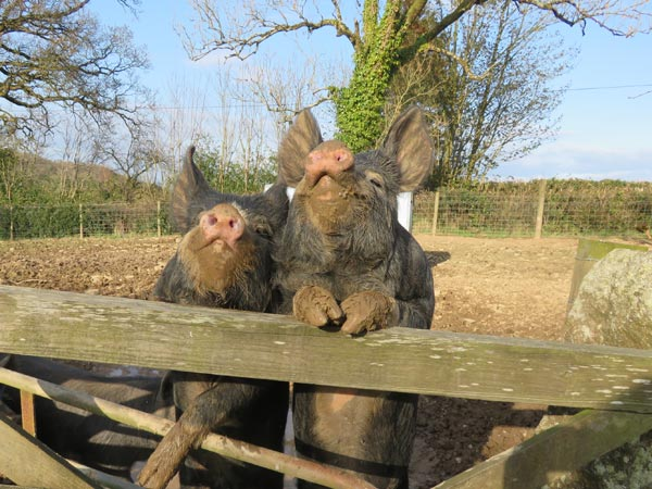 Two Berkshire pigs with front legs resting on the top of a gate