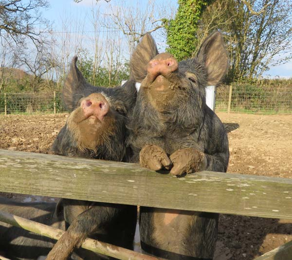 Two Berkshire rare breed pigs jumping up at the gate with their trotters resting on the top