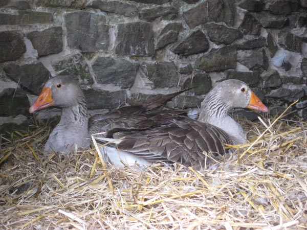 Two pilgrim geese on a deep bed of straw in a barn at South Yeo Farm West
