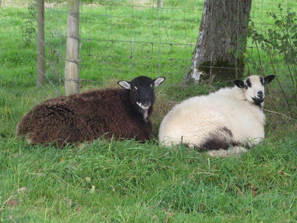 One Torwen and one Torddu Badger face lambs laying next to each other in orchard