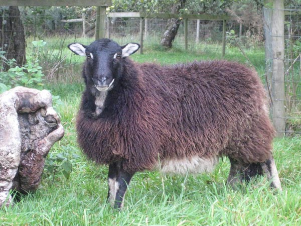 Torwen Badgerface sheep