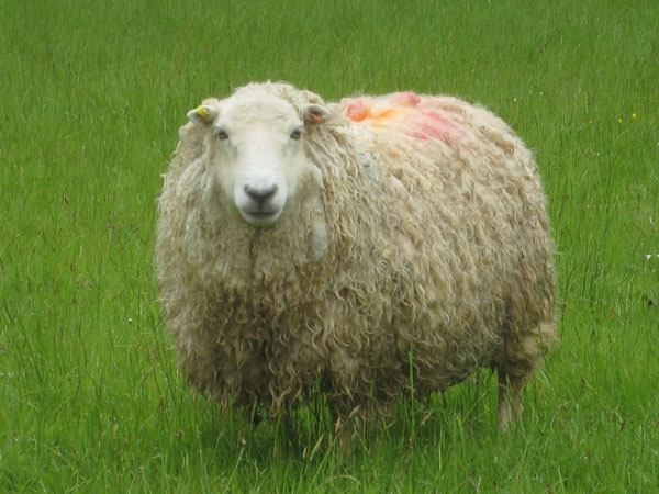 Whiteface Dartmoor ewe in full fleece