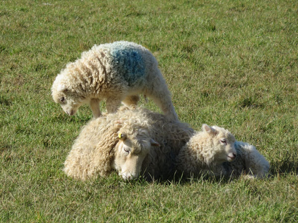 Whiteface Dartmoor ewe laying down with lamb next to her and another lamb stood on her back