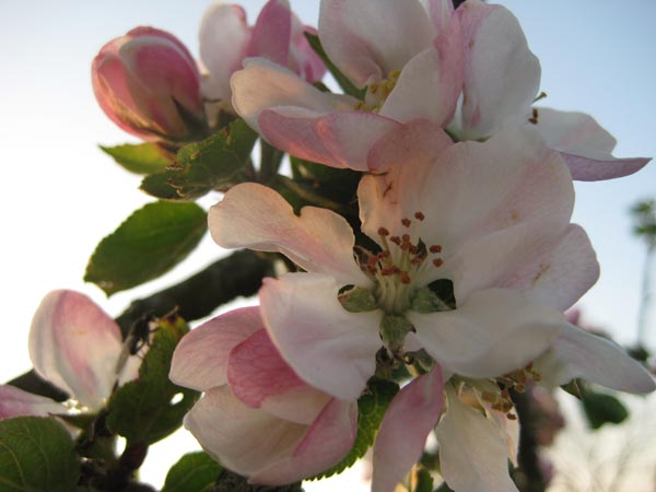 Pink apple blossom in the orchard at South Yeo Farm West