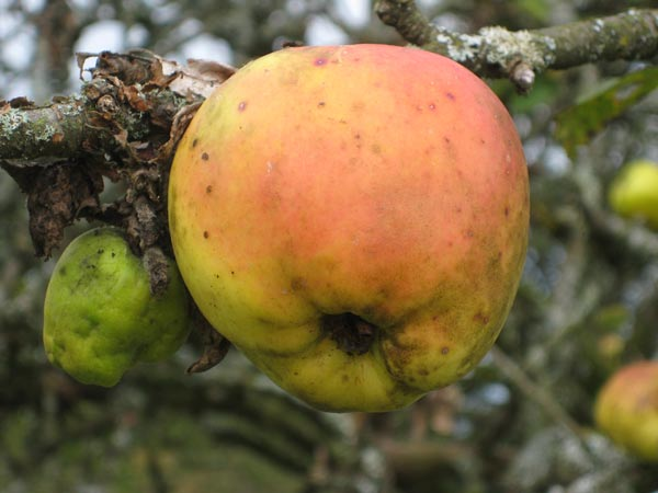 Apple on a tree in the orchard at South Yeo Farm West