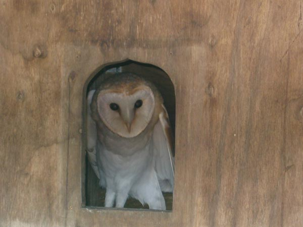 Barn owl in a nest box at South Yeo Farm West