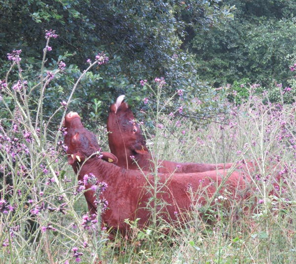 Devon Ruby cows in the culm grasslands conservation grazing