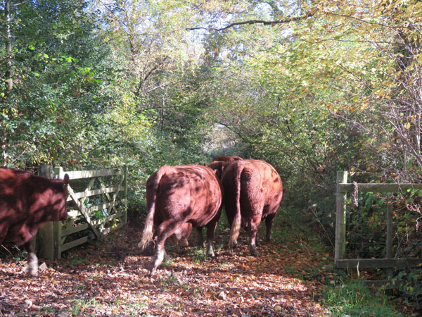 Cows walking down at autumn lane at South Yeo Farm West. Photo taken from behind.