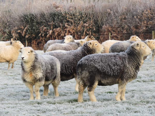 Herwick sheep in a field with frost on their fleeces
