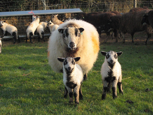 Torddu Badger Face ewe with two lambs all looking at camera