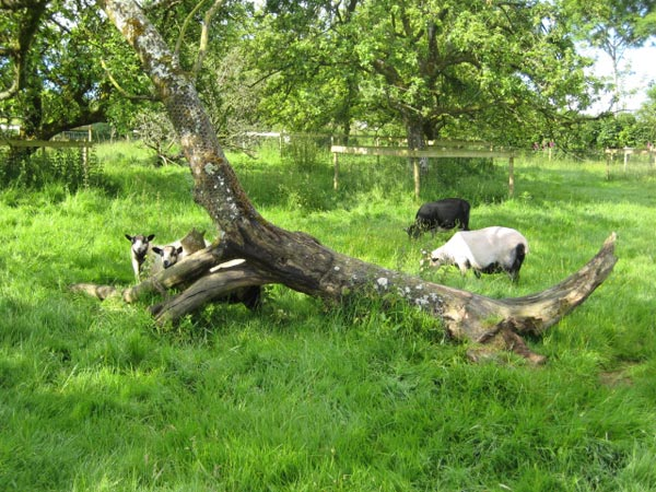 Lambs and ewes in the orchard at South Yeo Farm West