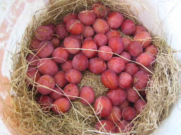 Plums sat on straw after being collected from the orchard at South Yeo Farm West