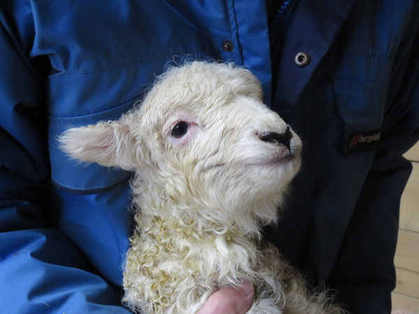 Newborn Whiteface Dartmoor lamb being held