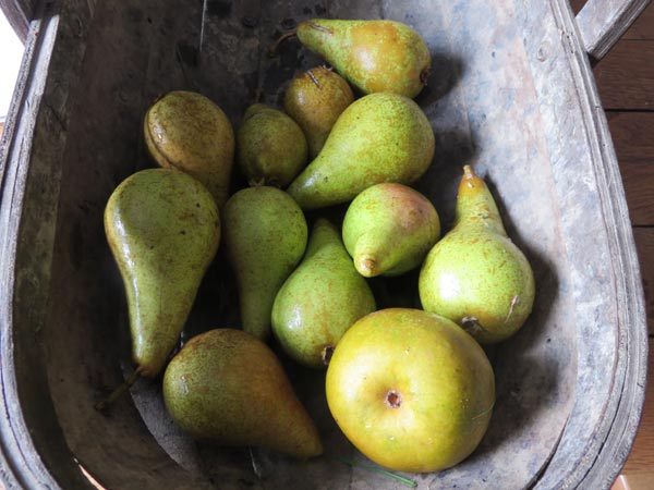 Orchard pears in a basket from South Yeo Farm West