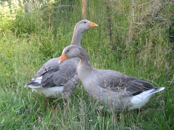 Two pilgrim geese outdoors on grass at South Yeo Farm West