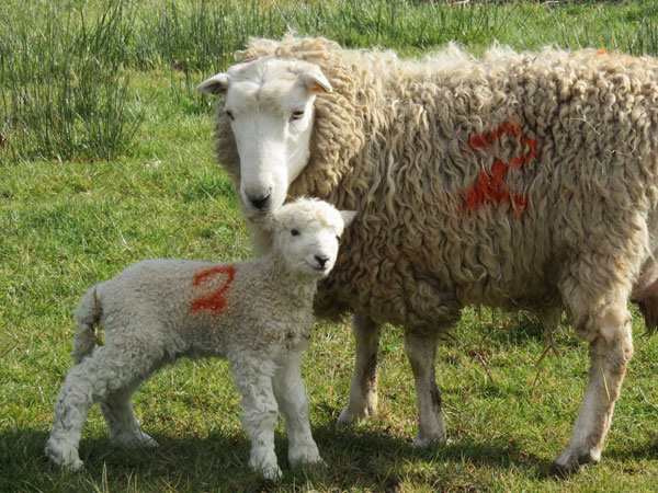 Whiteface Dartmoor ewe and lamb at South Yeo Farm West