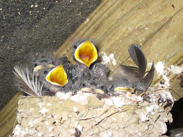 Swallow nest full of chicks at South Yeo Farm West
