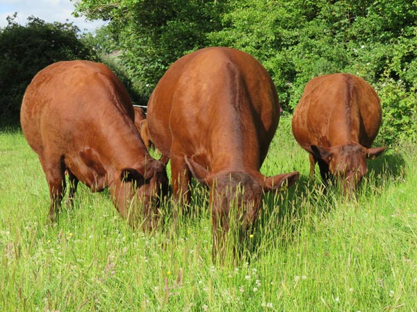 Three Red Ruby Devon cows grazing in a field at South Yeo Farm West