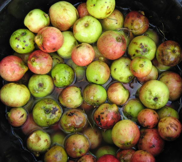 Washing apples from the orchard at South Yeo Farm West