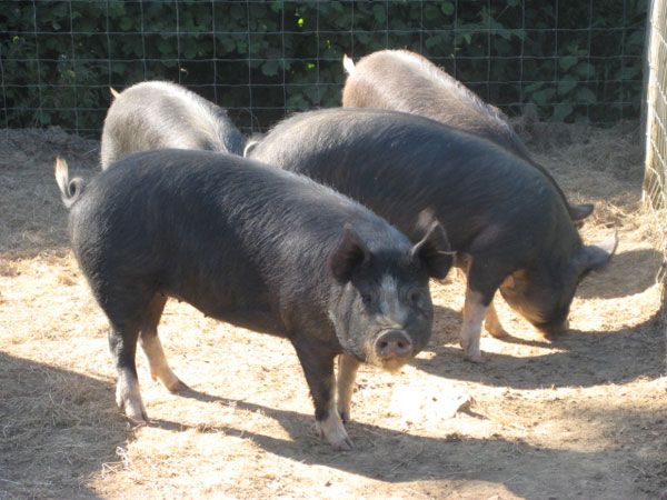 Group of Berkshire rare breed weaners in their enclosure